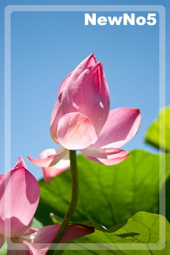 荷花01-台北植物園