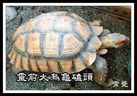 A 靈前大烏龜磕頭