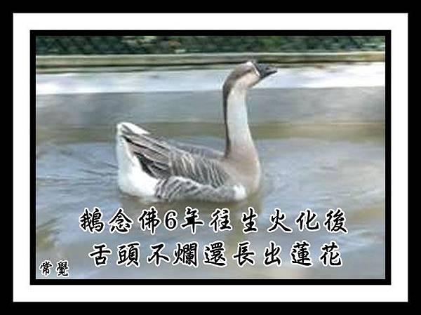 我的鵝往生故事