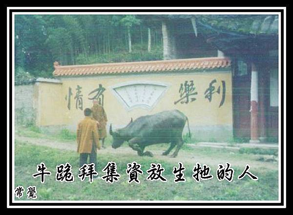 A牛跪拜集資放生牠的人
