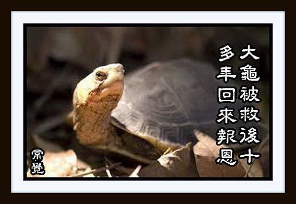 p大龜被救後十多年回來報恩