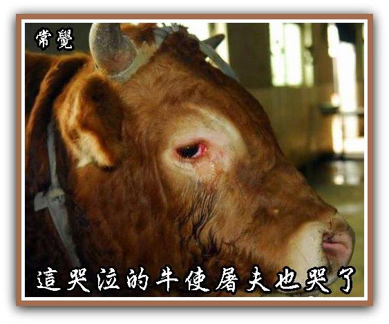 A2哭泣的牛