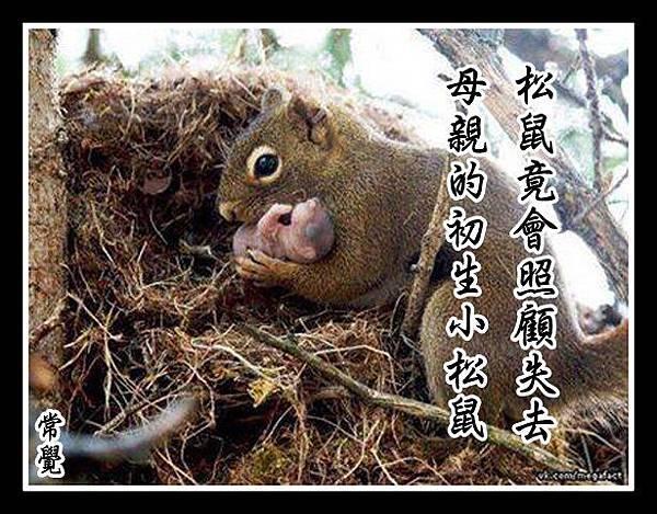 松鼠竟會照顧