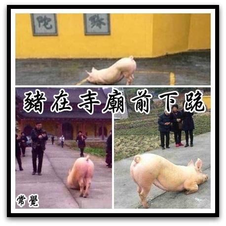 豬在寺廟前下跪
