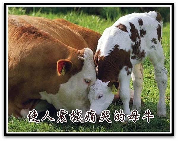 使人震撼痛哭的母牛.jpg