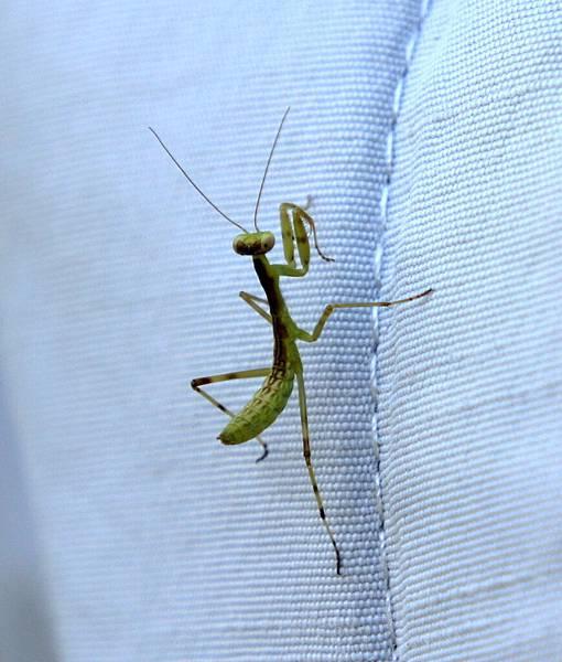 跳探戈的螳螂