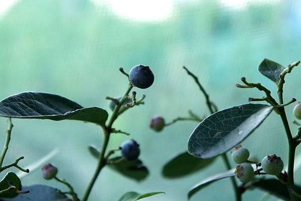 藍莓果熟了~無尾巷