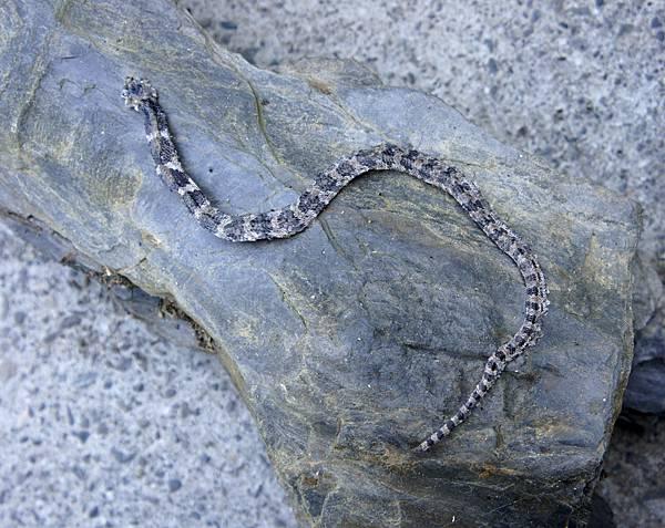 達瓦蘭~野蛇~