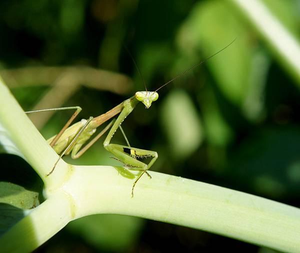 達瓦蘭~野螳螂