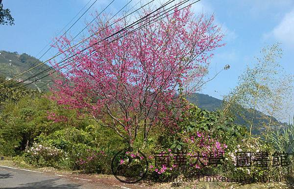 往龍眼國小的路上,山櫻花開了