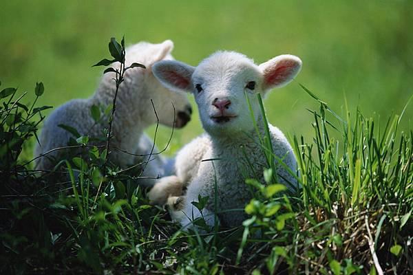 迷途的羔羊
