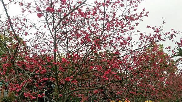 新社櫻花路跑路上的櫻花