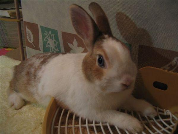 又見凹陷兔