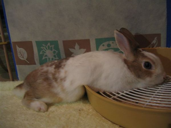 喔喔!凹肚子的憂鬱兔