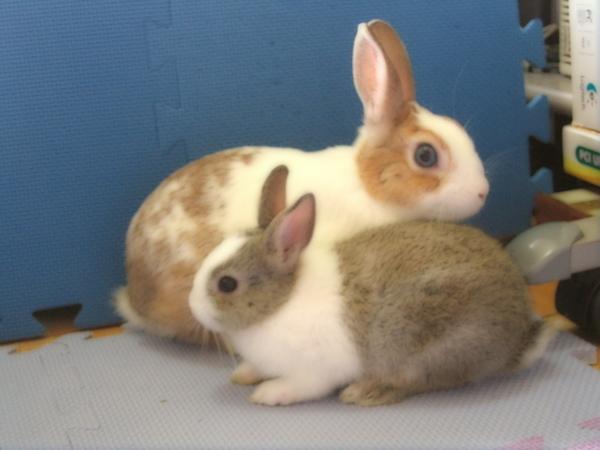 兔子斷背山