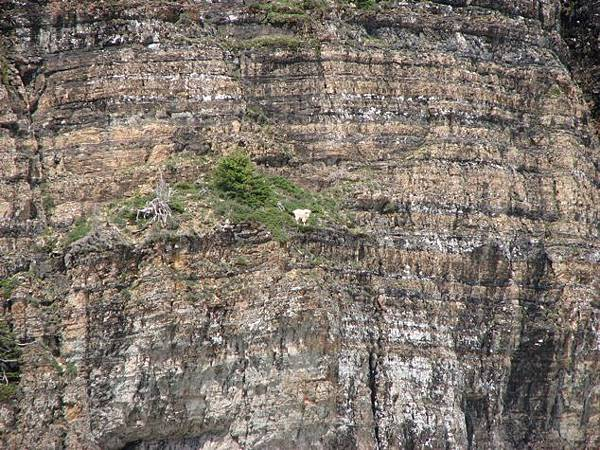 Goats-in-precarious-positions-09