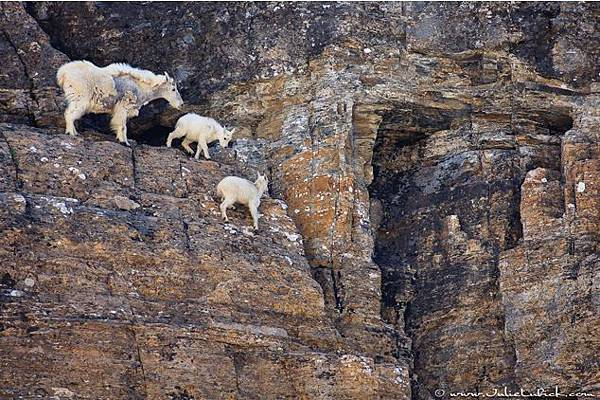 Goats-in-precarious-positions-10