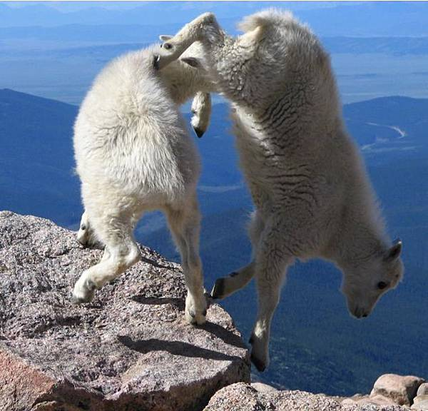 Goats-in-precarious-positions-01