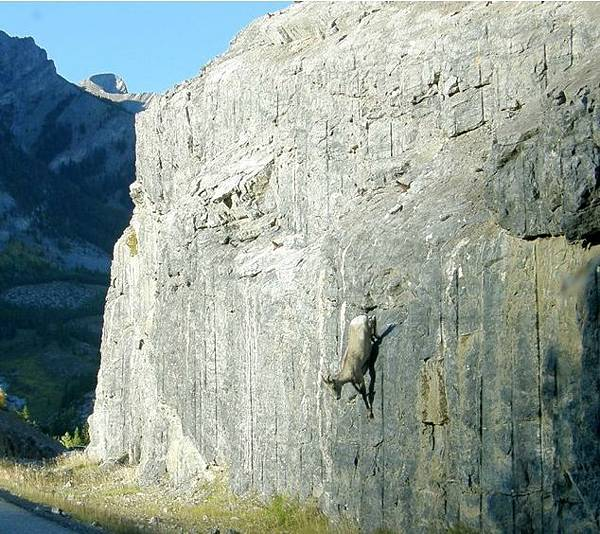 Goats-in-precarious-positions-12