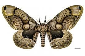 「枯球籮紋蛾」的圖片搜尋結果