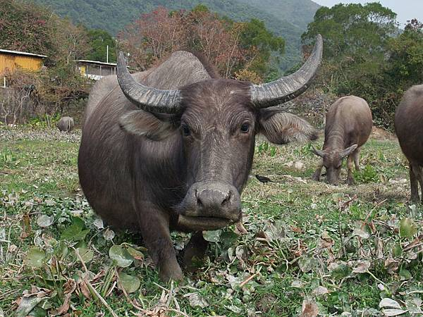 800px-Pui_O_water_buffaloes_2