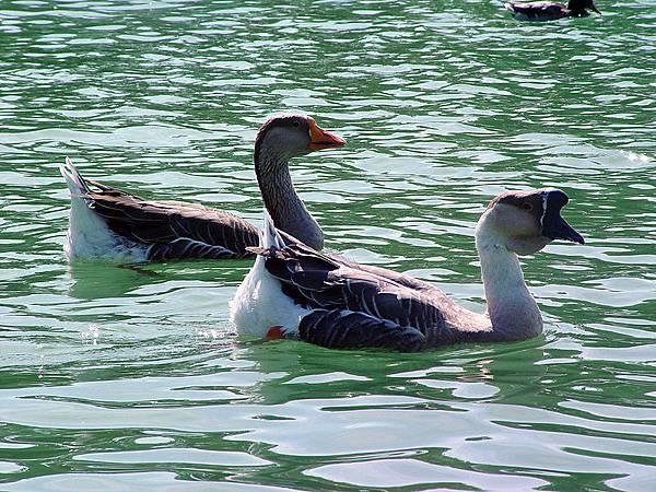 800px-Chinese_goose_pair_swimming