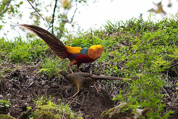 Golden_Pheasant,_courtship_display,_Tangjiahe_Nature_Reserve,_Sichuan,_China