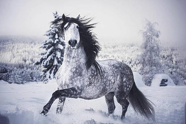 id12846103-ET-Mayra-Vidal-Lusitano-horse-6