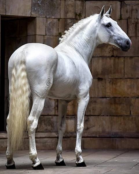 id12846098-ET-Mayra-Vidal-Lusitano-horse-3