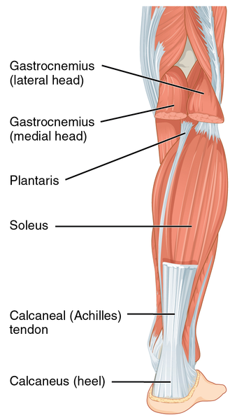 339px-1123_Muscles_of_the_Leg_that_Move_the_Foot_and_Toes_b