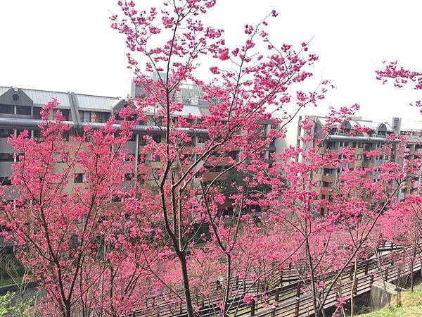 櫻花4.jpg