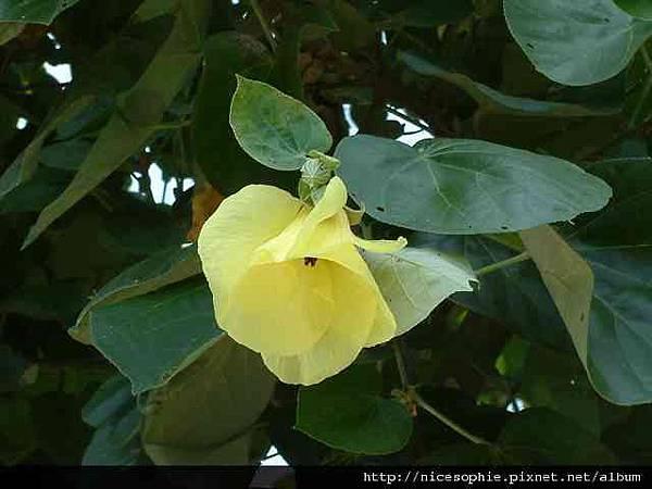 大黃槿樹-葉花4.jpg