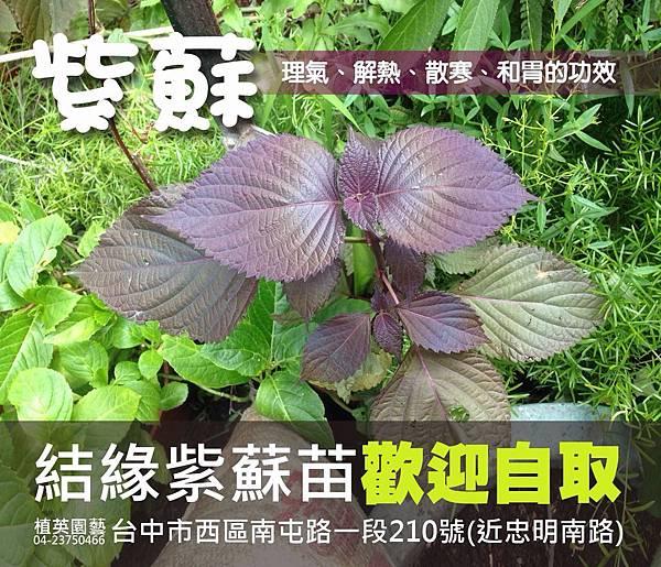 紫蘇 (2).JPG