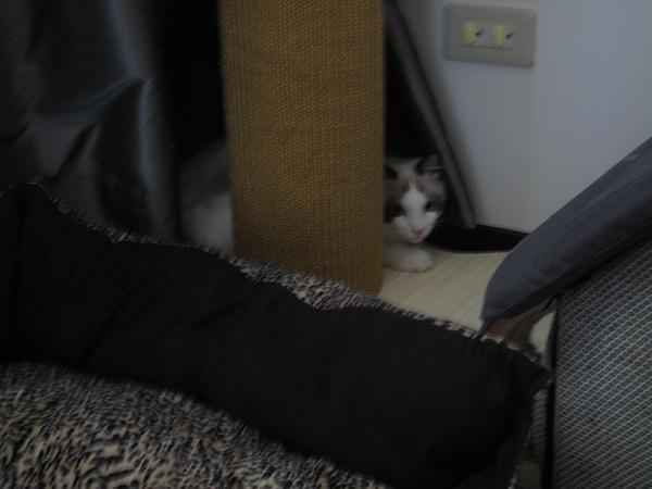 躲在貓抓柱後面