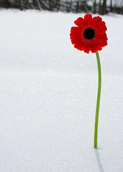 雪中紅花.jpg