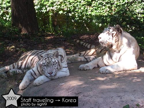 愛寶樂園~野生樂園白老虎