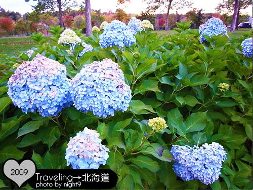 漂亮的繡球花