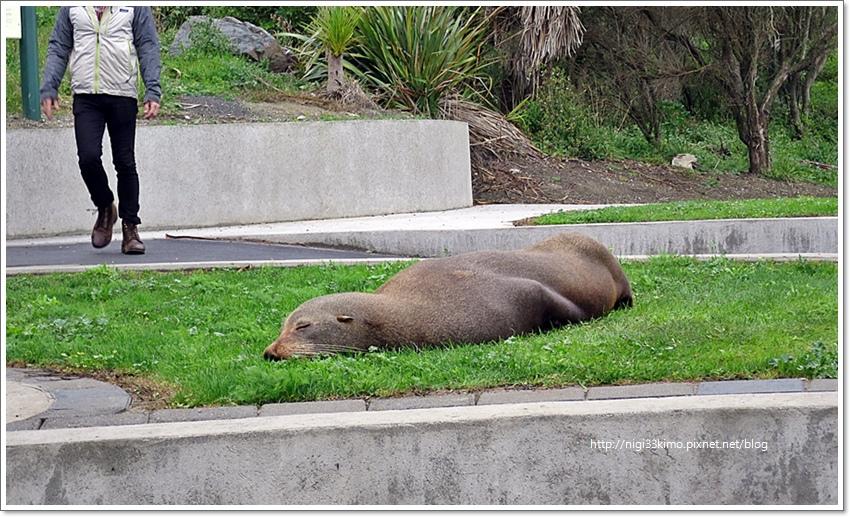 紐西蘭海邊海豹02.JPG