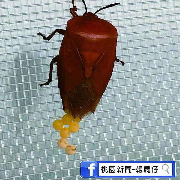 荔枝椿象圖6.jpg
