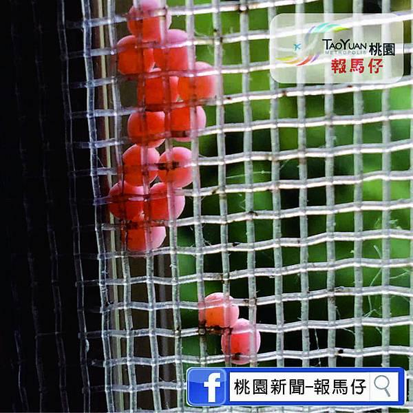 荔枝椿象圖2.jpg