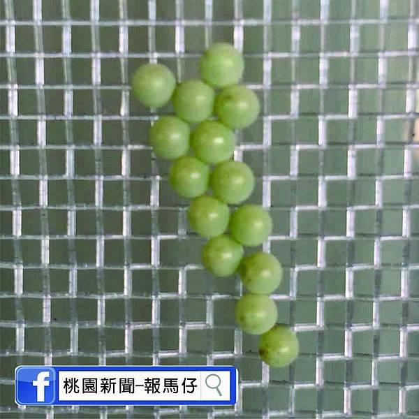 荔枝椿象圖4.jpg