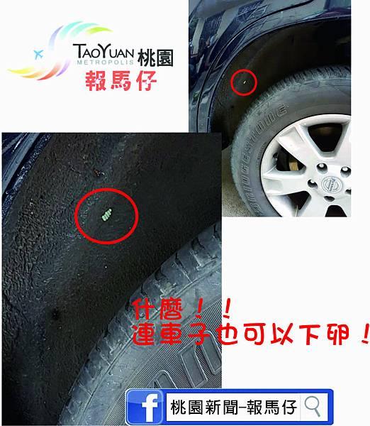 荔枝椿象圖11.jpg
