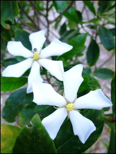 這個花好香!不知道叫甚麼名字?