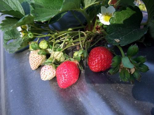 草莓都被星期六的人潮掃光了