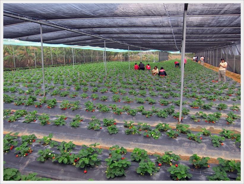 看過去好多紅紅草莓!!! 第一年開放採果,只試種小小的一分多地