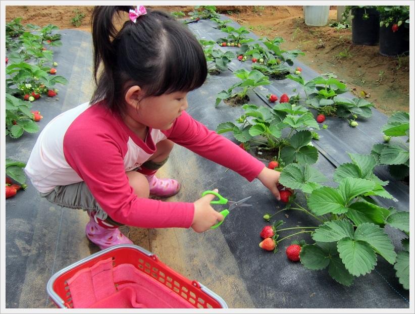 小雞蛋第一次採草莓!