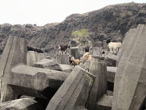 看到成群的羊就知道蘭嶼到啦!