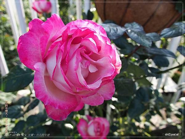 芳香玫瑰園