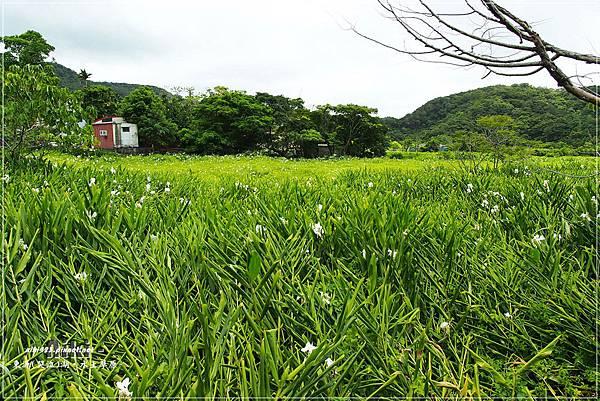 水上草原.野薑花季