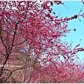 武陵農場_櫻花季